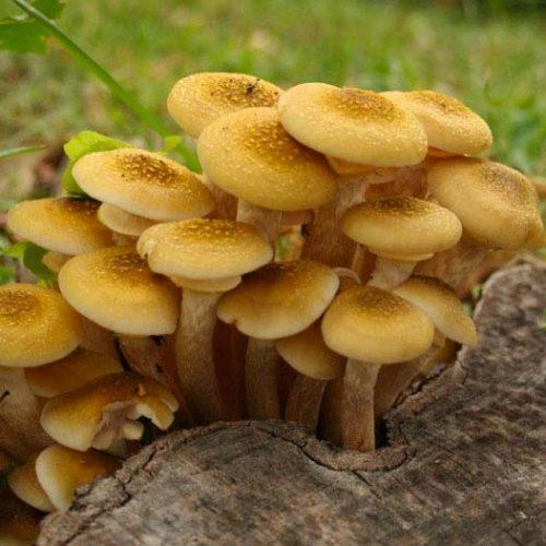 Funghi Chiodini - Lecco