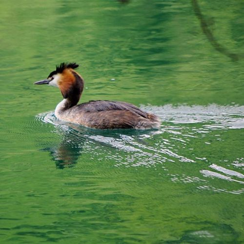 Parco Adda Nord -Great crested grebe