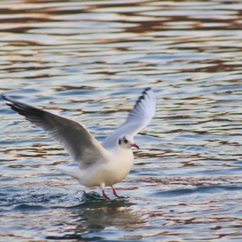 Parco Adda Nord - Seagull